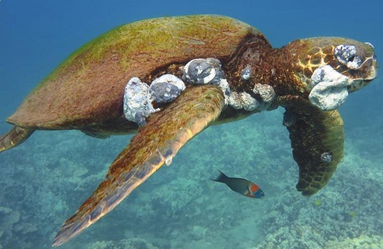 imagem tartarugas com tumor