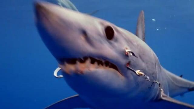 Tubarão com dois anzóis presos na boca é flagrado por mergulhadores