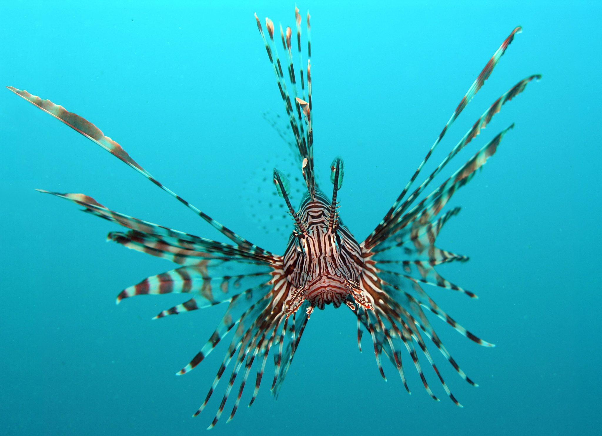 Espécies invasoras Peixe leão, imagem de peixe- leão
