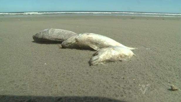 toneladas de peixes mortos