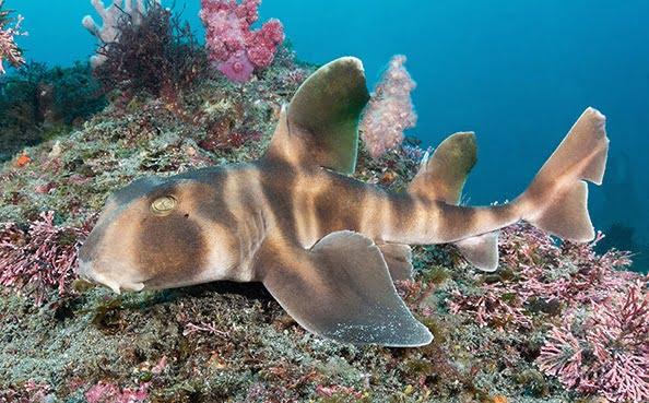 espécies curiosas de tubarão, imagem do Tubarão japonês cabeça de touro