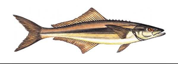 Criação de peixes em cativeiro, no Panamá, imagem de bijupirá