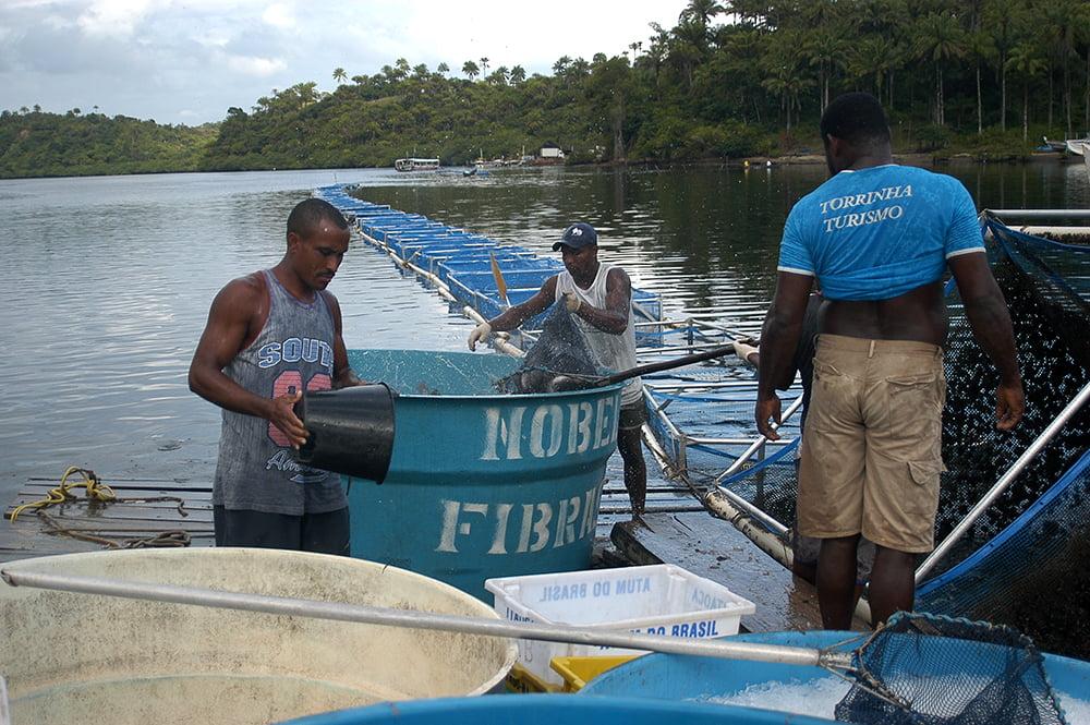 Criação de peixes em cativeiro, imagem de despesca-da-tilápia-no-rio-Cairu