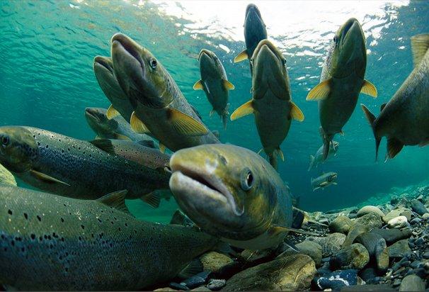 Criação de peixes em cativeiro, imagem do salmão-do-atlântico