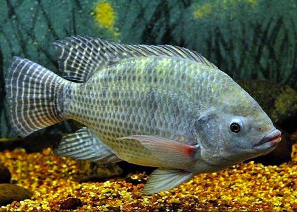 Criação de peixes em cativeiro, imagem de tilápia