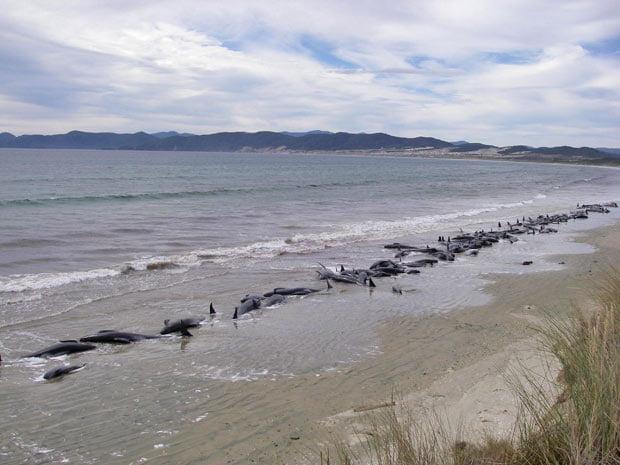 baleias encalham em praia na nova zelândia