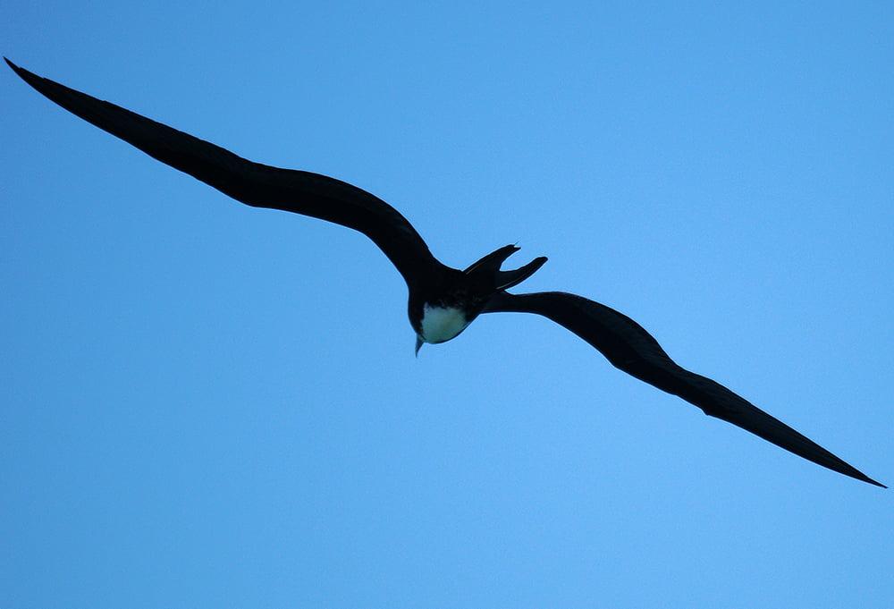 fragata-no Parque Nacional Marinhos dos Abrolhos