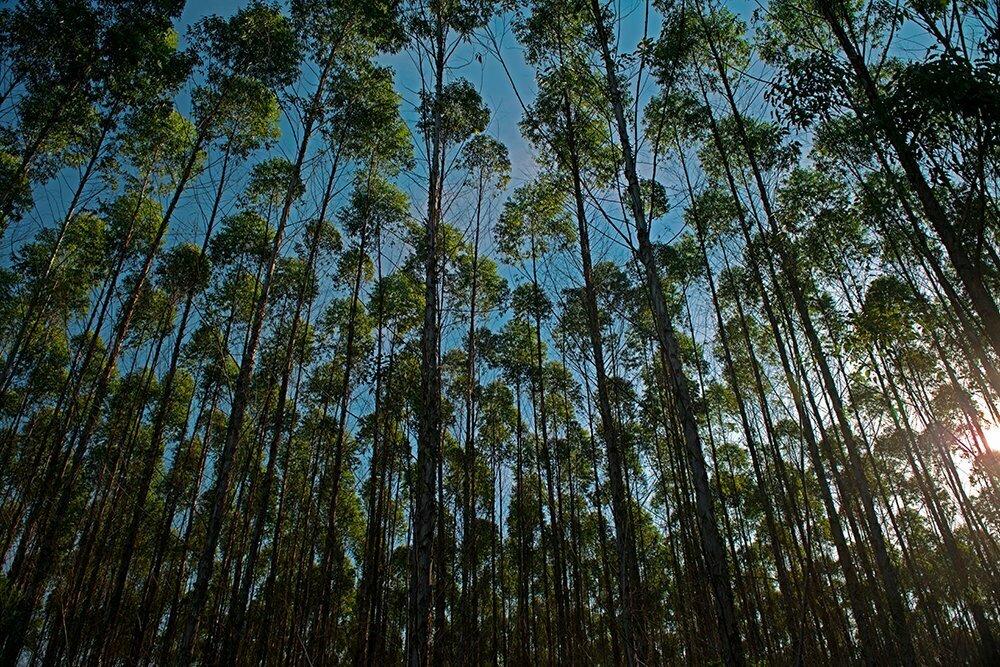 O mar sem fim é portuguez...imagem de eucaliptal na Bahia