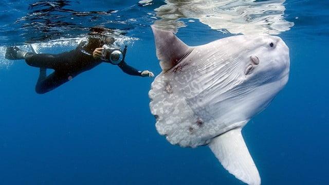 Mergulhador viaja o mundo atrás do peixe-lua