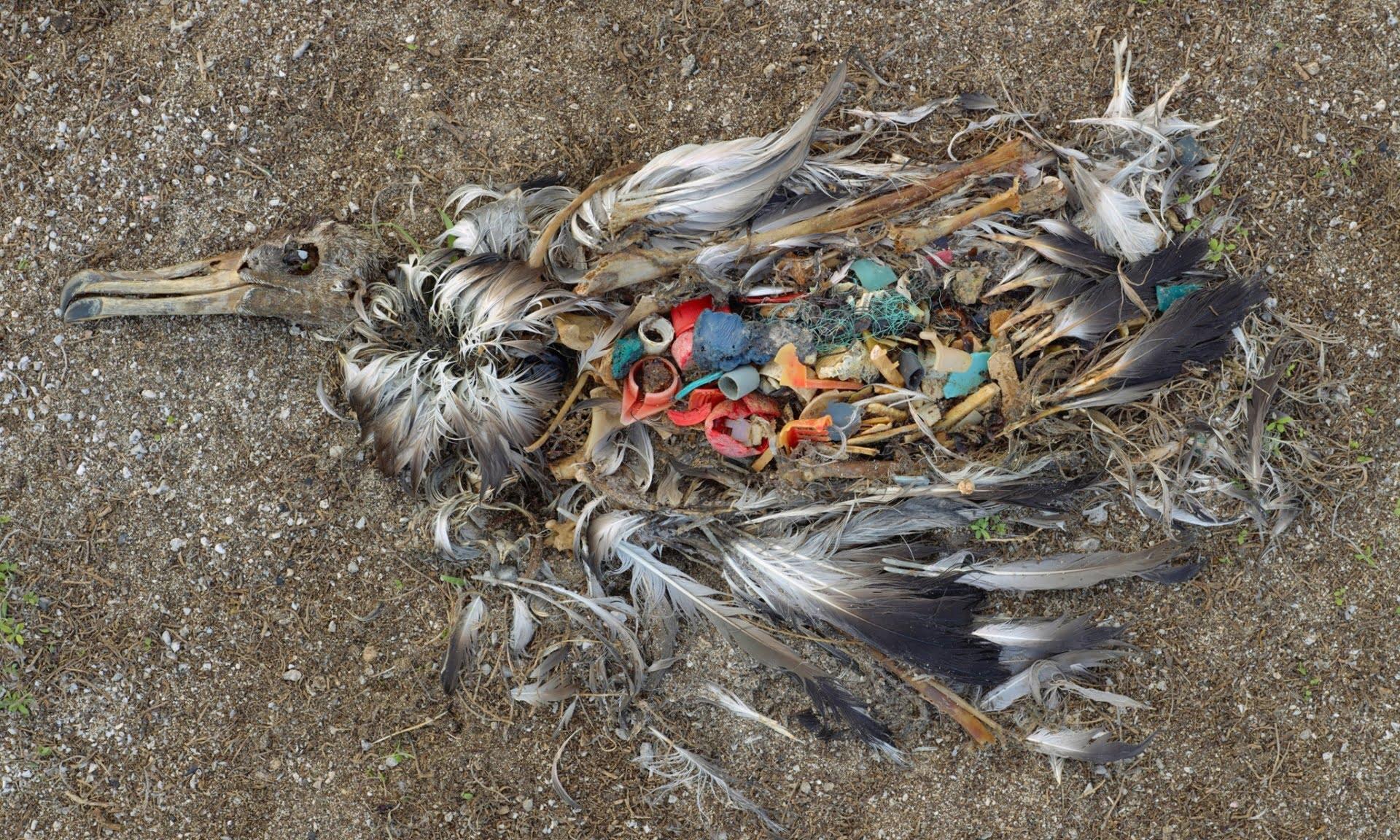 Superpopulação e super consumismo, nossa triste realidade, imagem de estômago de ave cheio de plástico