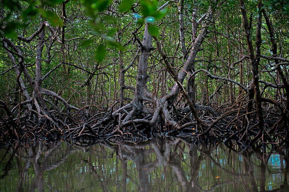 o-mangue-canavieiras