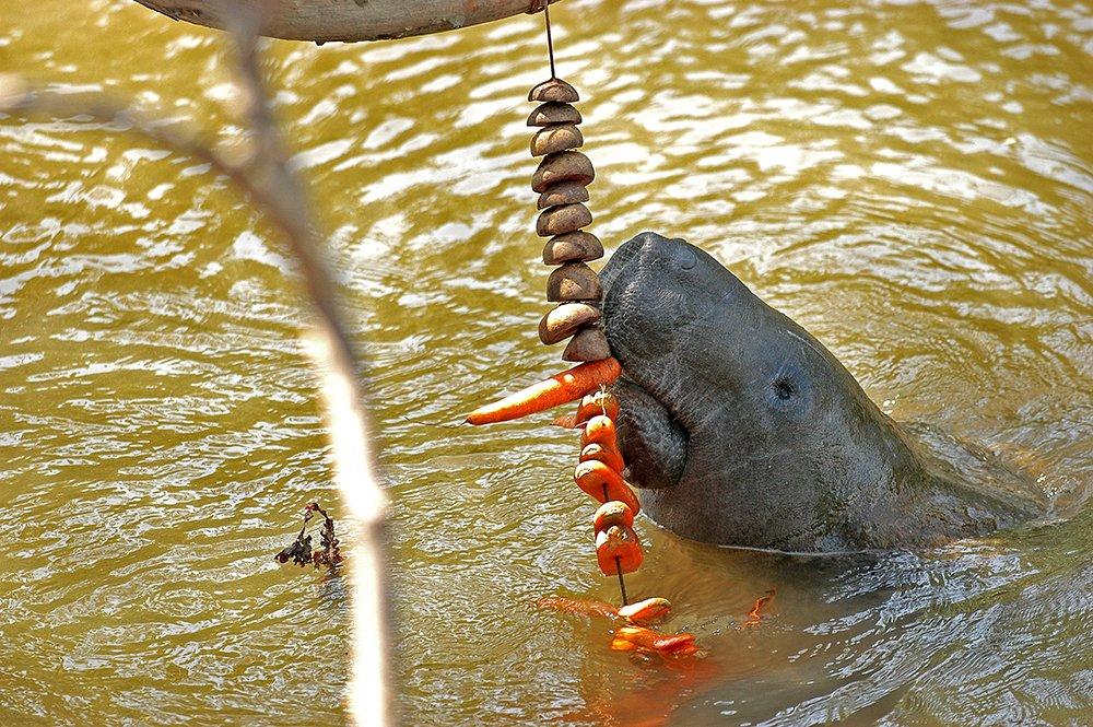ARIE e APA do Mamanguape, imagem de peixe boi em cativeiro