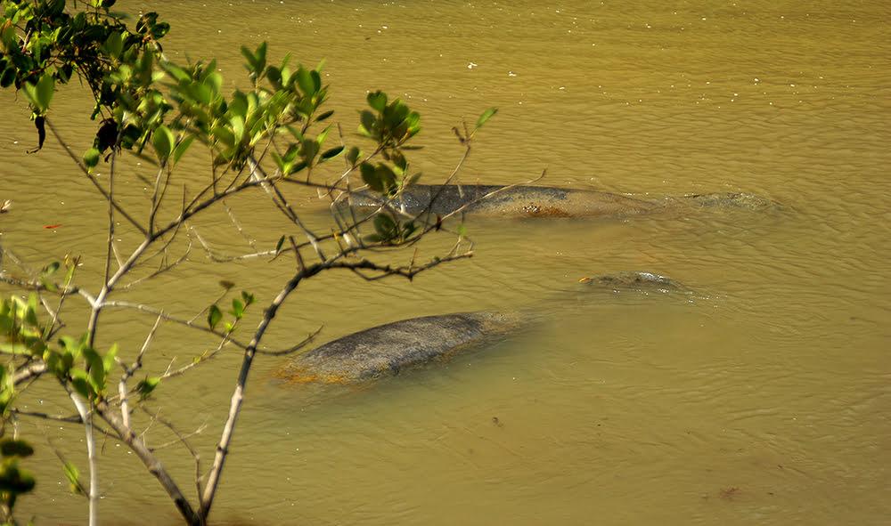 Árie e APA de Mamanguape, imagem de peixes boi