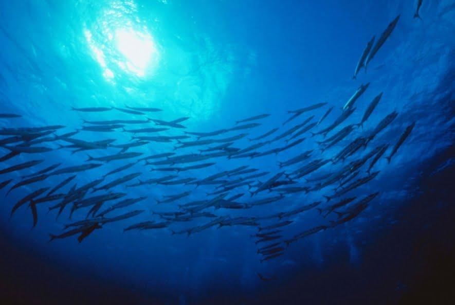 Peixes têm genes que se adaptam às mudanças climáticas, imagem de cardume de peixes