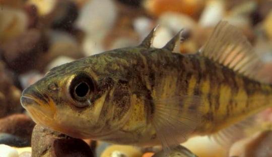 Animais e aves marinhas, imagem de Peixe Esgana Gatas