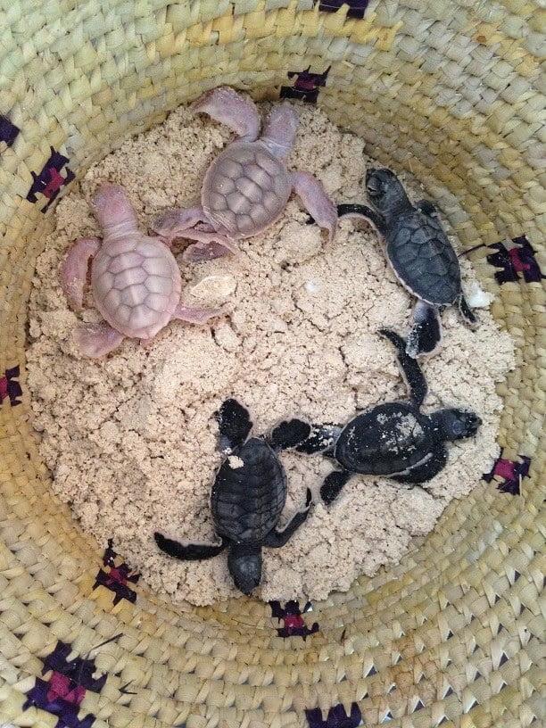 tartarugas marinhas albinas, imagem de tartarugas marinhas albinas