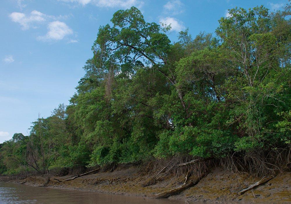 Resex Gurupi- Piriá imagem de Manguezal do rio Piriá