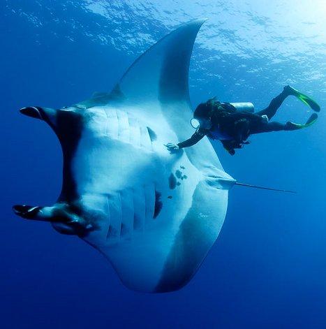 Indonésia cria santuário para a raia jamanta,imagem submarina de mergulhador ccom raia-jamanta