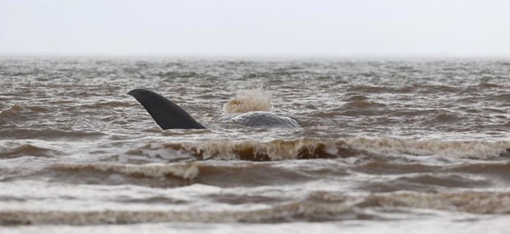 Cachalotes encalham em praias européias