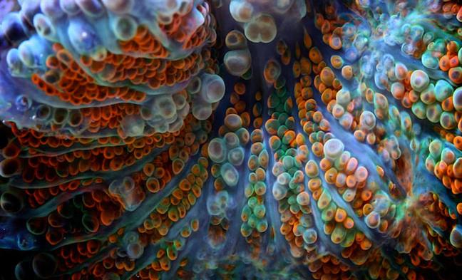 Corais ameaçados, foto de coral colorido