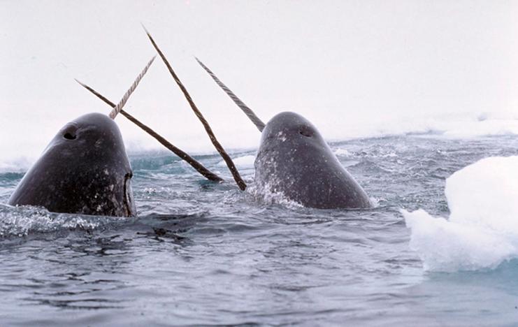 Baleia e o mito do Unicórnio, imagens de narvais