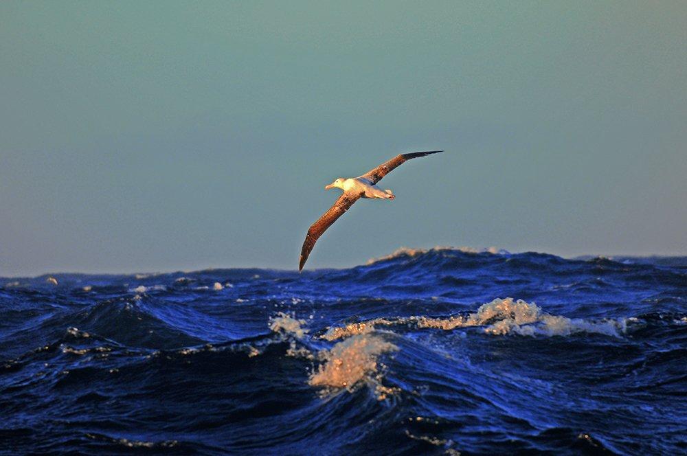 ONU e Áreas Marinhas Protegidas, imagem de um albatroz errante