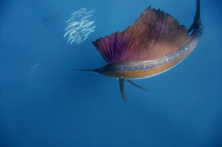 Sailfish, predador sofisticado, imagem submarina de um sailfish