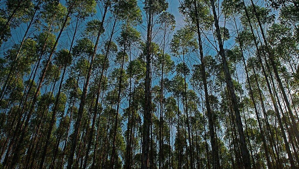 Eventos extremos, peso para a economia, imagem de reflorescimento com eucalipto
