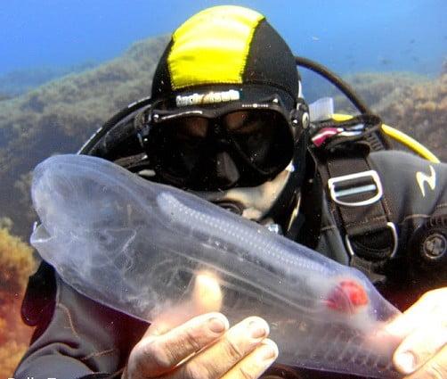 peixe transparente
