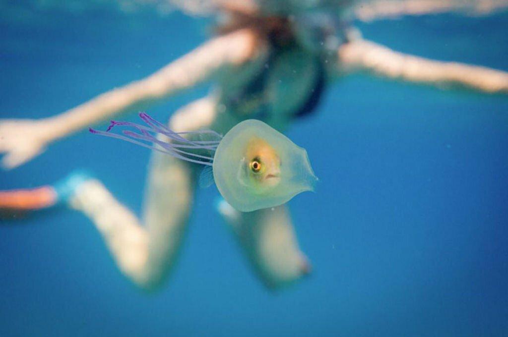 Peixe dentro de água- viva, imagem de Peixe dentro de água- viva