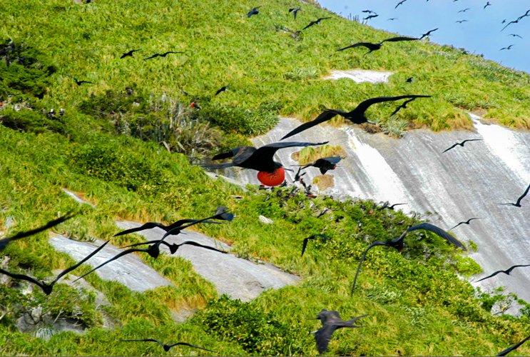 Alcatrazes sai do limbo, imagem de albatroz-com-bucho em voo