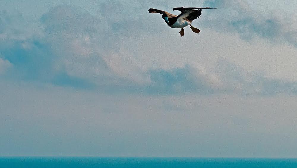 Alcatrazes, a grande polêmica, imagem de atobá em voo