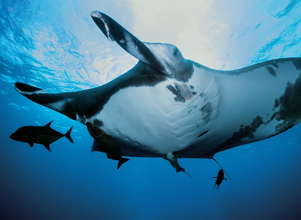 Mar Brasil, de Frederico Brandini, imagem submarina de uma arraia