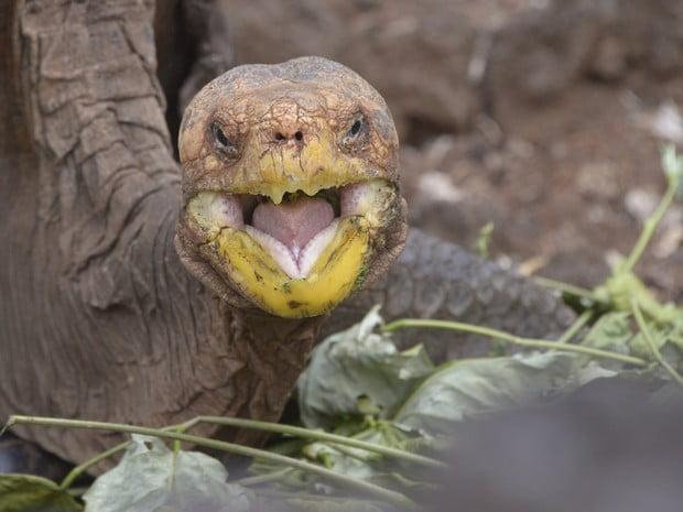 tartaruga gigante, imagem de Tartaruga gigante