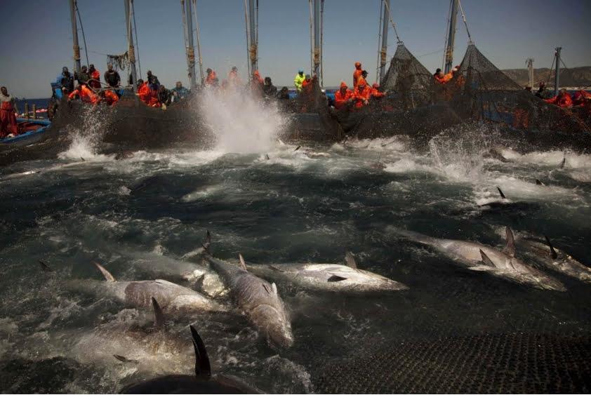 extinção em massa, imagem de rede com atuns