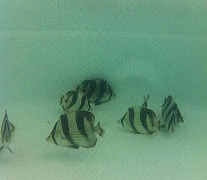 Aquicultura marinha ornamental