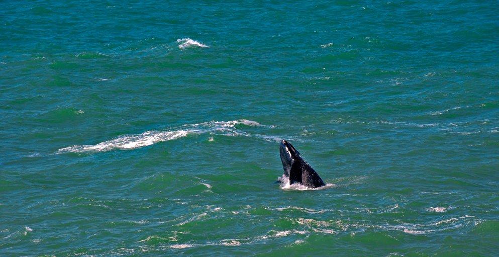Ecoturismo Marinho, imagem de cabeca-de-baleia-franca