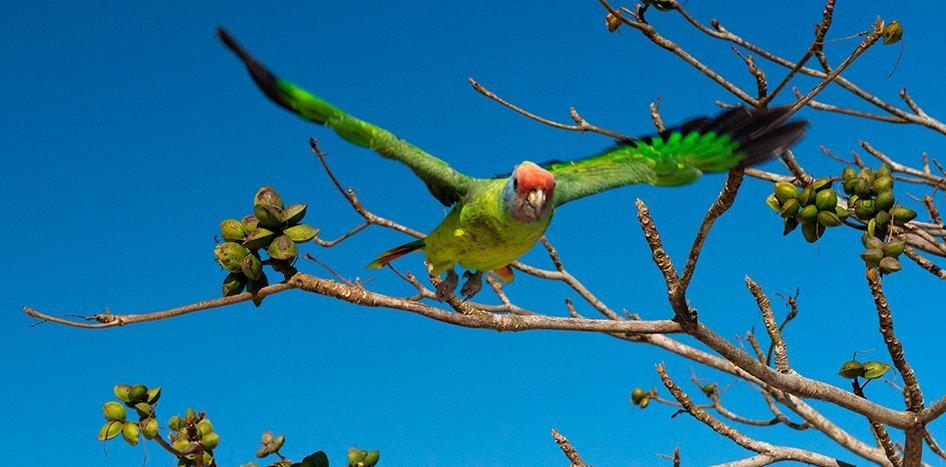 Riscos ao Lagamar, imagem de um papagaio-de- cara-roxa em voo