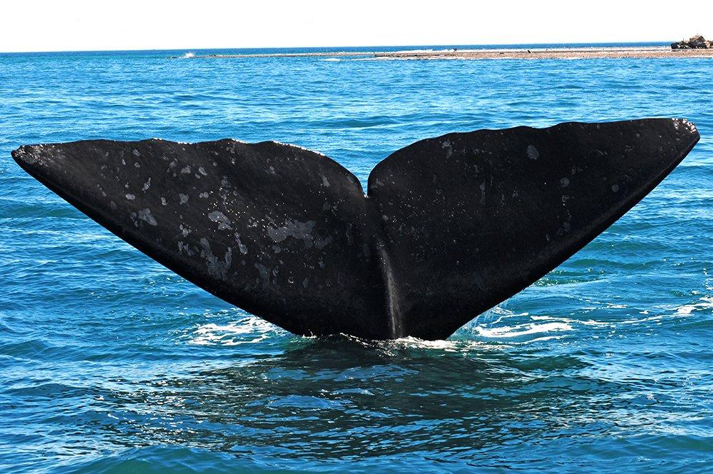 Ongs pedem ao Congresso, imagem da cura de baleia franca