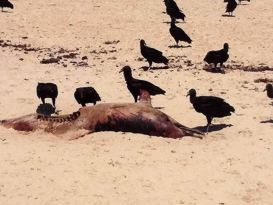 Praias do Rio Grande do Norte, imagem de golfino morto na praia