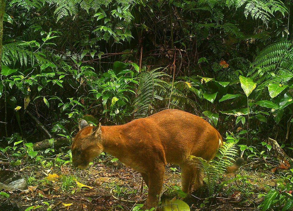 RPPN Salto Morato, imagem de um puma na RPPN Salto Morato