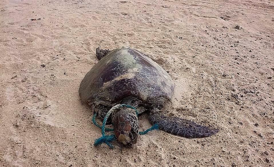 Praias do Rio Grande do Norte, imagem de tartaruga morta com corda enrolada no pescoço