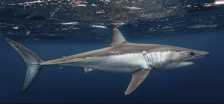 Matança de tubarões, image de tubarão mako no mar