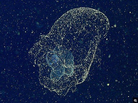 Mistérios dos oceanos, imagem de uma larva marinha