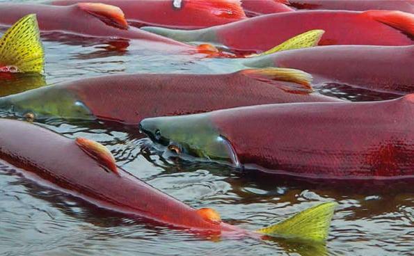 Fukushima, imagem de salmões num rio
