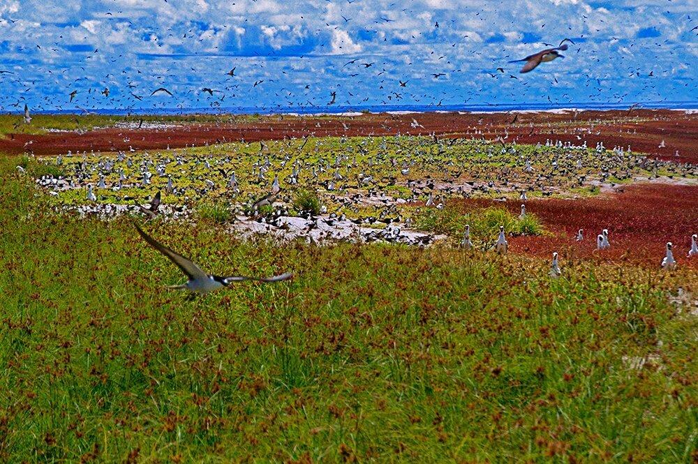 atol das rocas, imagem de centenas de pássaros no atol das rocas