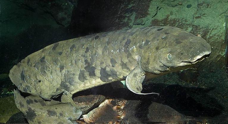 necrológio de um peixe, imagem de um peixe pulmonado australiano