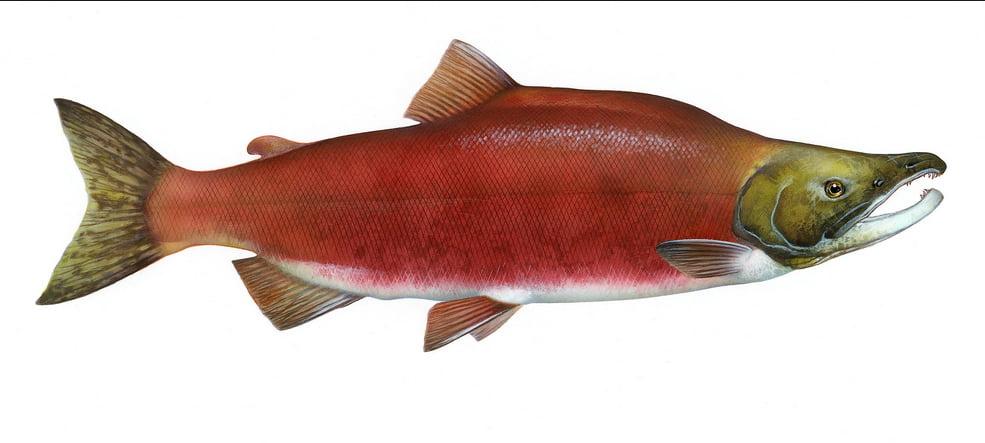 Salmão de cativeiro, ilustração de um salmão