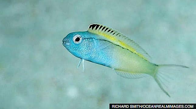 Peixe injeta morfina, imagem do peixe Flang Blenny