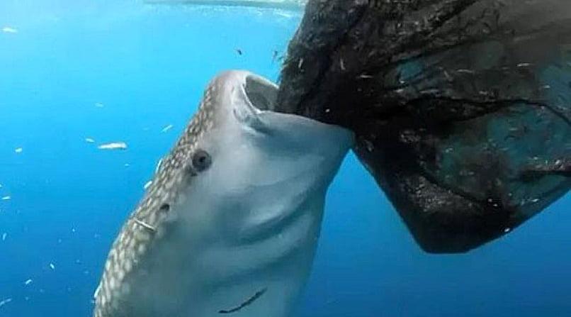 tubarão- baleia, imagem de tubarão- baleia,